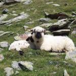 Belalp Schafe